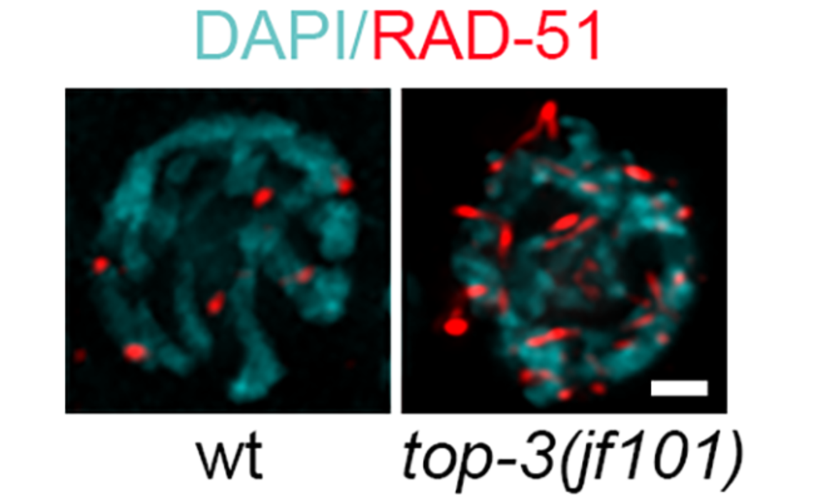 Single nuclei stained with DAPI (cyan) and recombinase RAD-51 (red). In top-3 mutant RAD-51 foci were much more abundant and coalesced into stretches, which is never observed in the wt. (c) Taken from Figure 1 Dello Stritto et al., JCB 2021.